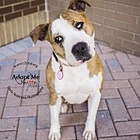 Adopt A Pet :: Neela - Charlotte, NC