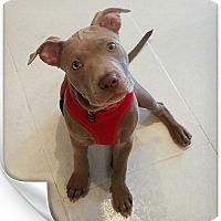 Adopt A Pet :: Dante - Coral springs, FL