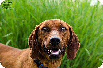 Redbone Coonhound Mix Dog for adoption in Howell, Michigan - Red