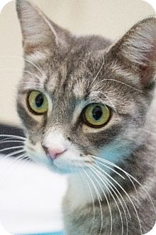 Domestic Shorthair Cat for adoption in Chicago, Illinois - Pookie