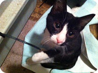Domestic Shorthair Kitten for adoption in Horsham, Pennsylvania - Sylvester