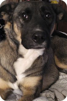 German Shepherd Dog/Husky Mix Dog for adoption in Centerpoint, Indiana - Brie