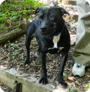 American Pit Bull Terrier Dog for adoption in Port Washington, New York - Ebony