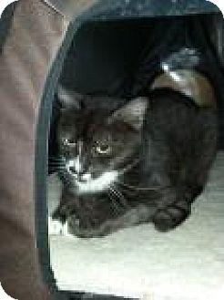 Domestic Shorthair Cat for adoption in Bradenton, Florida - Flan