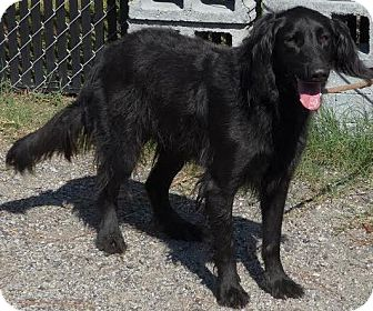 Setter (Unknown Type) Mix Dog for adoption in Manning, South Carolina - Jada