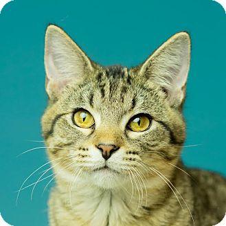 Domestic Shorthair Kitten for adoption in Columbia, Illinois - Adam