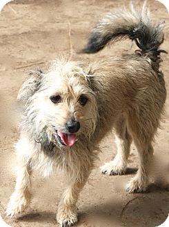 Schnauzer (Miniature) Mix Dog for adoption in Woonsocket, Rhode Island - Chance - MEET ME!