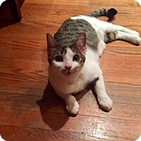 Adopt A Pet :: Sophia - Whitestone, NY