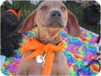 Basset Hound/Shar Pei Mix Dog for adoption in Scottsdale, Arizona - Adonis