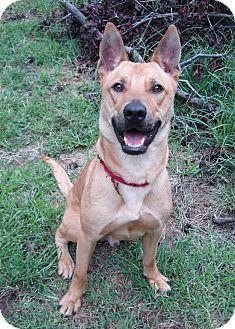 Labrador Retriever/Shepherd (Unknown Type) Mix Dog for adoption in Richmond, Virginia - Scooby