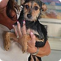 Adopt A Pet :: Daphne- IN CT! - West Hartford, CT