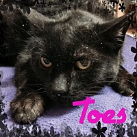 Domestic Shorthair Cat for adoption in Toledo, Ohio - Toes