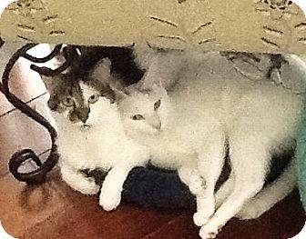 Domestic Shorthair Cat for adoption in New York, New York - Petey