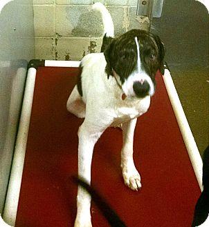 Basenji/Border Collie Mix Dog for adoption in Jacksonville, Texas - Jerico