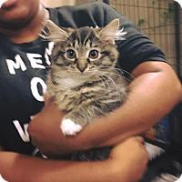 Adopt A Pet :: Miss Kiss - Chicago, IL