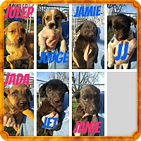 Adopt A Pet :: Spaniel Pups - New Haven, CT