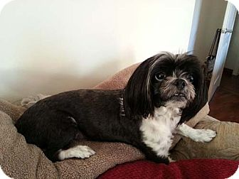 Lhasa Apso/Shih Tzu Mix Dog for adoption in Los Angeles, California - FELIX