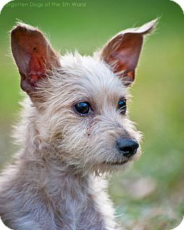 Chihuahua/Terrier (Unknown Type, Small) Mix Puppy for adoption in Houston, Texas - Acme