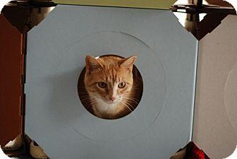 Domestic Shorthair Cat for adoption in St. Louis, Missouri - Bubbles