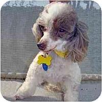 Adopt A Pet :: Precious - Tallahassee, FL