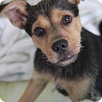 Adopt A Pet :: Chipolte - Yuba City, CA