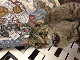 Domestic Shorthair Cat for adoption in Fresno, California - Ice