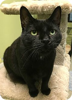 Domestic Shorthair Cat for adoption in Oak Park, Illinois - Binx