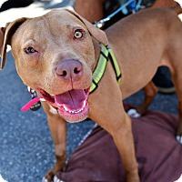 Adopt A Pet :: Cinnamon - Santa Monica, CA