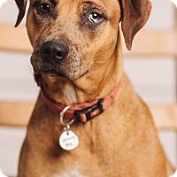 Adopt A Pet :: Cinder - Portland, OR