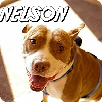 Adopt A Pet :: Nelson - Indianapolis, IN