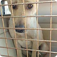 Adopt A Pet :: Casandra - pending - Mira Loma, CA