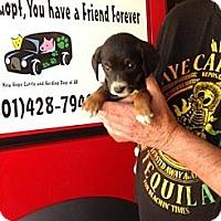 Adopt A Pet :: BCpuppy6 - Conway, AR