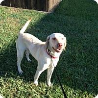Adopt A Pet :: DRAKE - Glastonbury, CT