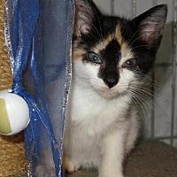 Calico Kitten for adoption in Winder, Georgia - Parti