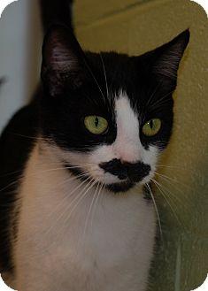 American Shorthair Cat for adoption in Salem, West Virginia - Pistol