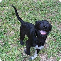 Adopt A Pet :: Laddie - Ormond Beach, FL