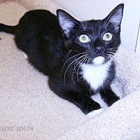 Domestic Mediumhair Cat for adoption in Houston, Texas - Doris