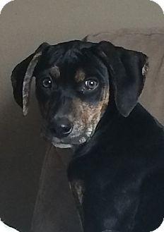 Labrador Retriever Mix Puppy for adoption in Beachwood, Ohio - Star
