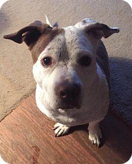 Boxer Mix Dog for adoption in Livonia, Michigan - Savannah-Special Adoption Fee