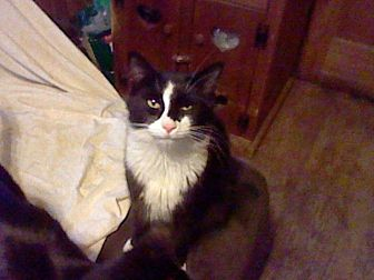 Domestic Mediumhair Cat for adoption in Benton, Pennsylvania - Stripe