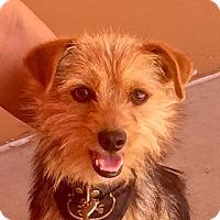 Adopt A Pet :: Benji - Chandler, AZ