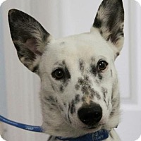 Blue Heeler Mix Dog for adoption in Allentown, Pennsylvania - Spuds
