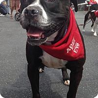 Adopt A Pet :: CLEOPATRA - Los Angeles, CA