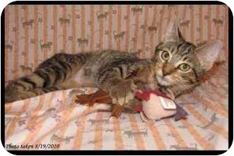 Domestic Shorthair Kitten for adoption in Orlando, Florida - Teva