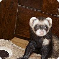 Adopt A Pet :: Ace - Chantilly, VA