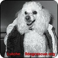 Adopt A Pet :: Luche - Shawnee Mission, KS