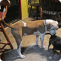 Adopt A Pet :: Jasper (Winston Churchill) - Copperas Cove, TX