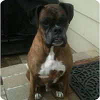 Adopt A Pet :: Diesel - LOVE BUG - Grafton, MA