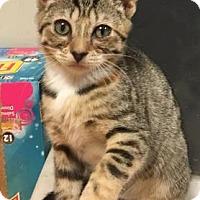 Domestic Shorthair Kitten for adoption in Cheltenham, Pennsylvania - Cindy Lou Who