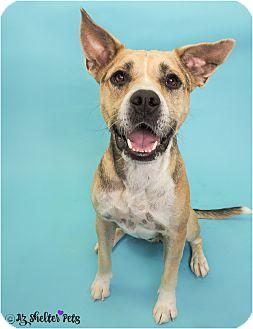 Catahoula Leopard Dog/Akita Mix Dog for adoption in Phoenix, Arizona - Moe
